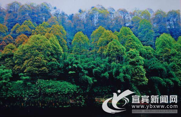 长滩河油樟林。